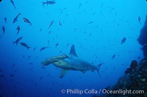 Scalloped hammerhead shark. Cocos Island, Costa Rica, Sphyrna lewini, natural history stock photograph, photo id 03242