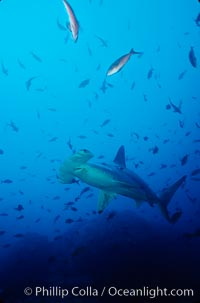 Scalloped hammerhead shark. Cocos Island, Costa Rica, Sphyrna lewini, natural history stock photograph, photo id 03243