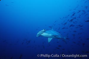 Scalloped hammerhead shark. Cocos Island, Costa Rica, Sphyrna lewini, natural history stock photograph, photo id 03244