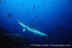 Scalloped hammerhead shark. Cocos Island, Costa Rica, Sphyrna lewini, natural history stock photograph, photo id 03245