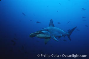 Scalloped hammerhead shark. Cocos Island, Costa Rica, Sphyrna lewini, natural history stock photograph, photo id 03246