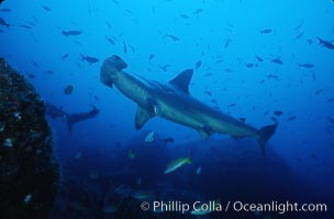 Scalloped hammerhead shark. Cocos Island, Costa Rica, Sphyrna lewini, natural history stock photograph, photo id 03247