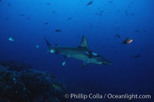 Scalloped hammerhead shark. Cocos Island, Costa Rica, Sphyrna lewini, natural history stock photograph, photo id 03248