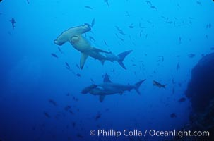 Image 03249, Scalloped hammerhead shark. Cocos Island, Costa Rica, Sphyrna lewini, Phillip Colla, all rights reserved worldwide. Keywords: animal, animalia, carcharhiniformes, chondrichthyes, chordata, cluster, cocos island, cocos island national park, cornuda, costa rica, danger, elasmobranch, elasmobranchii, fear, fish, fishes, group, hammerhead, hammerhead shark, jaws, lewini, marine, nature, ocean, oceans, outdoors, outside, pacific, predator, risk, scalloped hammer head shark, scalloped hammerhead, scalloped hammerhead shark, school, schooling, sea, shark, shark behavior, sphyrna, sphyrna lewini, sphyrnidae, submarine, tiburon martillo, underwater, vertebrata, wildlife, world heritage sites.