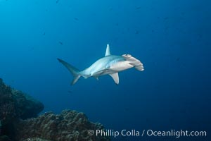 Scalloped hammerhead shark. Wolf Island, Galapagos Islands, Ecuador, Sphyrna lewini, natural history stock photograph, photo id 16301