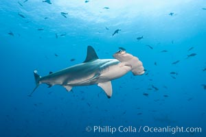 Scalloped hammerhead shark. Wolf Island, Galapagos Islands, Ecuador, Sphyrna lewini, natural history stock photograph, photo id 16305