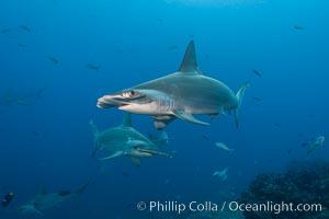 Scalloped hammerhead shark. Darwin Island, Galapagos Islands, Ecuador, Sphyrna lewini, natural history stock photograph, photo id 16310