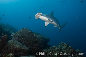 Scalloped hammerhead shark. Wolf Island, Galapagos Islands, Ecuador, Sphyrna lewini, natural history stock photograph, photo id 18599