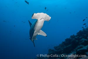 Scalloped hammerhead shark. Wolf Island, Galapagos Islands, Ecuador, Sphyrna lewini, natural history stock photograph, photo id 18602