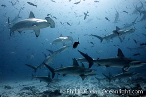 Hammerhead sharks, schooling, black and white / grainy. Darwin Island, Galapagos Islands, Ecuador, Sphyrna lewini, natural history stock photograph, photo id 18605