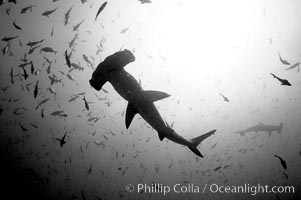 Hammerhead sharks, schooling, black and white / grainy. Darwin Island, Galapagos Islands, Ecuador, Sphyrna lewini, natural history stock photograph, photo id 18609