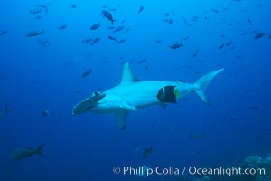 Scalloped hammerhead shark cleaned by King angelfish. Galapagos Islands, Ecuador, Sphyrna lewini, Holacanthus passer, natural history stock photograph, photo id 01528