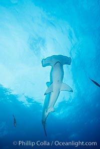 Scalloped hammerhead shark. Galapagos Islands, Ecuador, Sphyrna lewini, natural history stock photograph, photo id 01535
