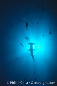Scalloped hammerhead shark. Galapagos Islands, Ecuador, Sphyrna lewini, natural history stock photograph, photo id 01545