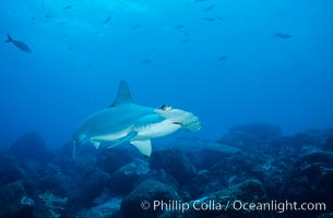 Scalloped hammerhead shark. Galapagos Islands, Ecuador, Sphyrna lewini, natural history stock photograph, photo id 01552