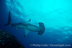 Scalloped hammerhead shark. Galapagos Islands, Ecuador, Sphyrna lewini, natural history stock photograph, photo id 01688