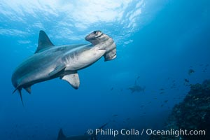 Scalloped hammerhead shark. Wolf Island, Galapagos Islands, Ecuador, Sphyrna lewini, natural history stock photograph, photo id 16245