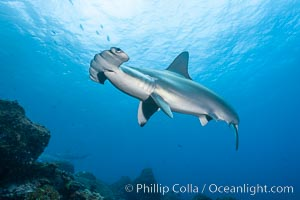 Scalloped hammerhead shark. Wolf Island, Galapagos Islands, Ecuador, Sphyrna lewini, natural history stock photograph, photo id 16247