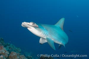 Scalloped hammerhead shark. Darwin Island, Galapagos Islands, Ecuador, Sphyrna lewini, natural history stock photograph, photo id 16251