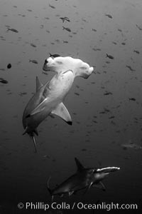 Image 16252, Scalloped hammerhead shark, black and white / grainy. Wolf Island, Galapagos Islands, Ecuador, Sphyrna lewini, Phillip Colla, all rights reserved worldwide. Keywords: animal, animalia, black and white, carcharhiniformes, chondrichthyes, chordata, cornuda, creature, danger, ecuador, elasmobranch, elasmobranchii, fear, galapagos, galapagos islands, hammerhead, hammerhead shark, jaws, lewini, marine, nature, ocean, oceans, outdoors, outside, pacific, predator, risk, scalloped hammer head shark, scalloped hammerhead, scalloped hammerhead shark, sea, shark, sharks, sphyrna, sphyrna lewini, sphyrnidae, submarine, tiburon martillo, underwater, vertebrata, wildlife, wolf island, world heritage sites.