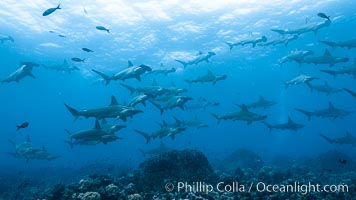 Hammerhead sharks, schooling, black and white / grainy. Wolf Island, Galapagos Islands, Ecuador, Sphyrna lewini, natural history stock photograph, photo id 16260