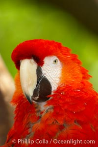 Scarlet macaw., Ara macao, natural history stock photograph, photo id 12543