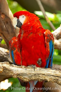 Scarlet macaw., Ara macao, natural history stock photograph, photo id 12547