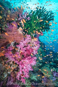 Schooling anthias fish, colorful dendronephthya soft corals and green fan coral, Fiji. Vatu I Ra Passage, Bligh Waters, Viti Levu  Island, Fiji, Dendronephthya, Pseudanthias, Tubastrea micrantha, natural history stock photograph, photo id 31476