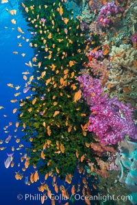 Schooling anthias fish, colorful dendronephthya soft corals and green fan coral, Fiji, Dendronephthya, Pseudanthias, Tubastrea micrantha, Vatu I Ra Passage, Bligh Waters, Viti Levu  Island