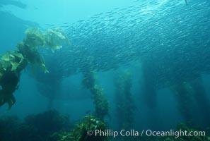 Schooling baitfish and Macrocystis pyrifera kelp, San Clemente Island