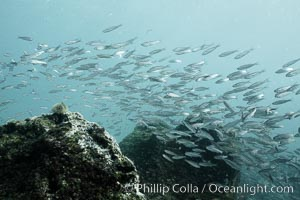 Schooling fish, black and white / grainy, Isla Lobos