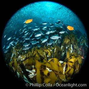 Huge mixed schools of fish on Farnsworth Banks, Catalina Island, California, Medialuna californiensis