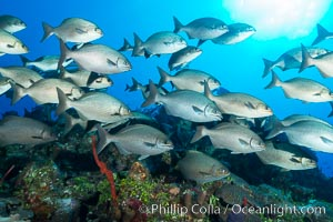 Schooling fish over coral reef, Grand Cayman Island