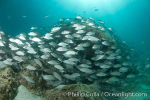 Schooling fish in the Sea of Cortez. Sea of Cortez, Baja California, Mexico, natural history stock photograph, photo id 27567