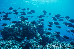 Schooling fish underwater at Rose Atoll, American Samoa, Rose Atoll National Wildlife Refuge