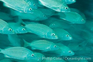 Schooling fish with motion blur, Sea of Cortez, Baja California, Mexico