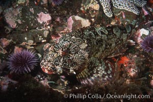 Cabezon. Santa Barbara Island, California, USA, Scorpaenichthys marmoratus, natural history stock photograph, photo id 03444