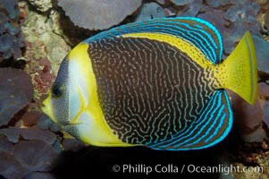 Image 09451, Scribbled angelfish., Chaetodontoplus duboulayi, Phillip Colla, all rights reserved worldwide. Keywords: angelfish, animal, chaetodontoplus duboulayi, color and pattern, creature, fish, fish anatomy, indo-pacific, marine, marine fish, mask or hidden eye, nature, ocean, scribbled angelfish, sea, teleost fish, underwater, wildlife.