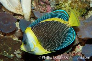 Scribbled angelfish, Chaetodontoplus duboulayi