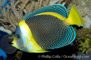 Scribbled angelfish., Chaetodontoplus duboulayi, natural history stock photograph, photo id 10295