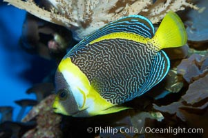 Scribbled angelfish., Chaetodontoplus duboulayi, natural history stock photograph, photo id 11836