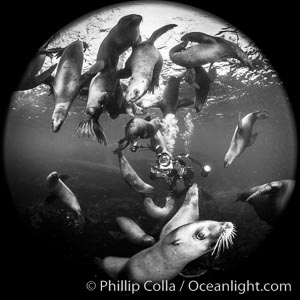SCUBA Diver and Steller Sea Lions Underwater,  underwater photographer, Hornby Island, British Columbia, Canada., Eumetopias jubatus, natural history stock photograph, photo id 36119