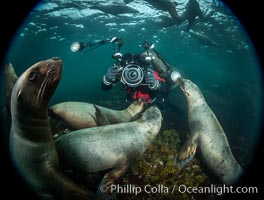 Image 36122, SCUBA Diver and Steller Sea Lions Underwater,  underwater photographer, Hornby Island, British Columbia, Canada., Eumetopias jubatus, Phillip Colla, all rights reserved worldwide. Keywords: animal, animalia, british columbia, canada, caniformia, carnivora, carnivore, chordata, creature, diver, eared seal, endangered, eumetopias, eumetopias jubatus, hornby island, mammal, mammalia, marine, marine mammal, nature, norris rocks, northern sea lion, ocean, otariid, otariidae, otariinae, pacific, pacific northwest, photographer, pinniped, salish sea, scuba diver, sea lion, steller sea lion, stellers sea lion, straight of georgia, threatened, underwater, vancouver island, vertebrata, vertebrate, wildlife.