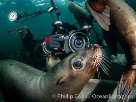 Image 36131, SCUBA Diver and Steller Sea Lions Underwater,  underwater photographer, Hornby Island, British Columbia, Canada., Eumetopias jubatus, Phillip Colla, all rights reserved worldwide.   Keywords: animal:animalia:british columbia:canada:caniformia:carnivora:carnivore:chordata:creature:diver:eared seal:endangered:eumetopias:eumetopias jubatus:hornby island:mammal:mammalia:marine:marine mammal:nature:norris rocks:northern sea lion:ocean:otariid:otariidae:otariinae:pacific:pacific northwest:photographer:pinniped:salish sea:scuba diver:sea lion:steller sea lion:stellers sea lion:straight of georgia:threatened:underwater:vancouver island:vertebrata:vertebrate:wildlife.