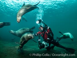 SCUBA Diver and Steller Sea Lions Underwater,  underwater photographer, Hornby Island, British Columbia, Canada., Eumetopias jubatus, natural history stock photograph, photo id 36133