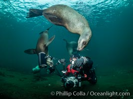 SCUBA Diver and Steller Sea Lions Underwater,  underwater photographer, Hornby Island, British Columbia, Canada, Eumetopias jubatus