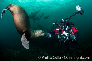 SCUBA Diver and Steller Sea Lions Underwater,  underwater photographer, Hornby Island, British Columbia, Canada., Eumetopias jubatus, natural history stock photograph, photo id 36136