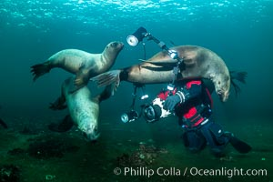 SCUBA Diver and Steller Sea Lions Underwater, Hornby Island, British Columbia, Canada, Eumetopias jubatus, Norris Rocks
