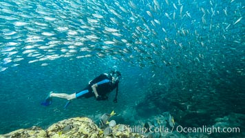 SCUBA diver, sardines and scad, Los Islotes, Sea of Cortez, Mexico
