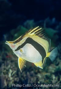 Scythe-marked butterflyfish, Prognathodes falcifer, Guadalupe Island (Isla Guadalupe)